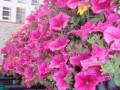 Цветя - 'Петуния' каскадна